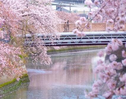 会社帰りに最適、横浜のお花見スポット